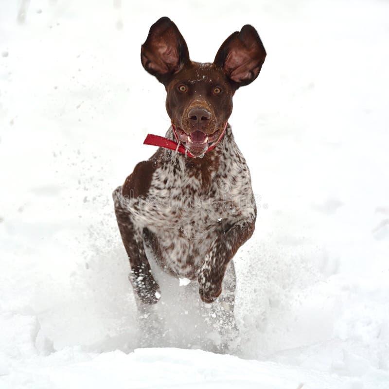 Grappige lopende hond royalty-vrije stock fotografie