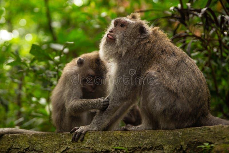 Grappige macaqueapen in het aap-Bos stock afbeelding