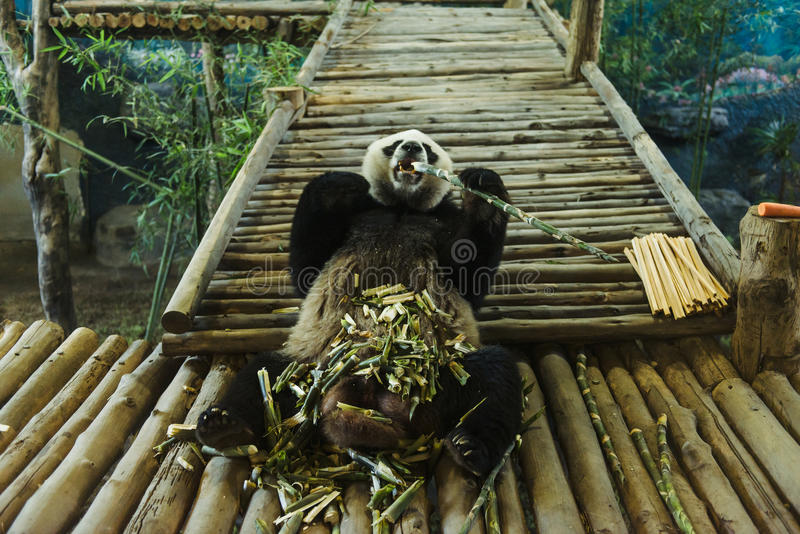 Grappige panda die bamboe in Chiang Mai Zoo eten stock foto