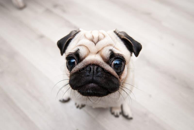 Grappige pug snuit Vissenoog stock foto's