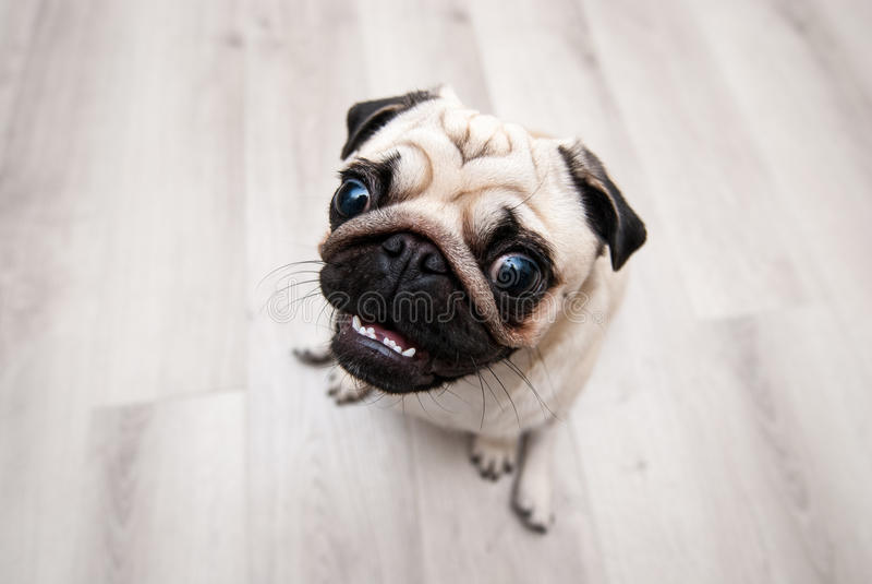 Grappige pug snuit Vissenoog stock afbeelding