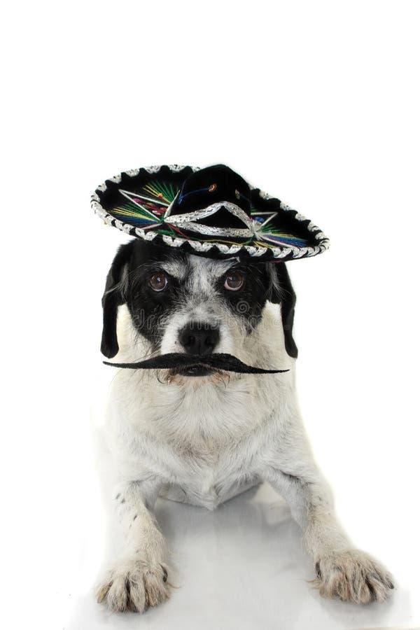 GRAPPIGE RASHOND DIE EEN MEXICAANSE MARIACHI-HOED EN ZEER GROOT DRAGEN stock foto