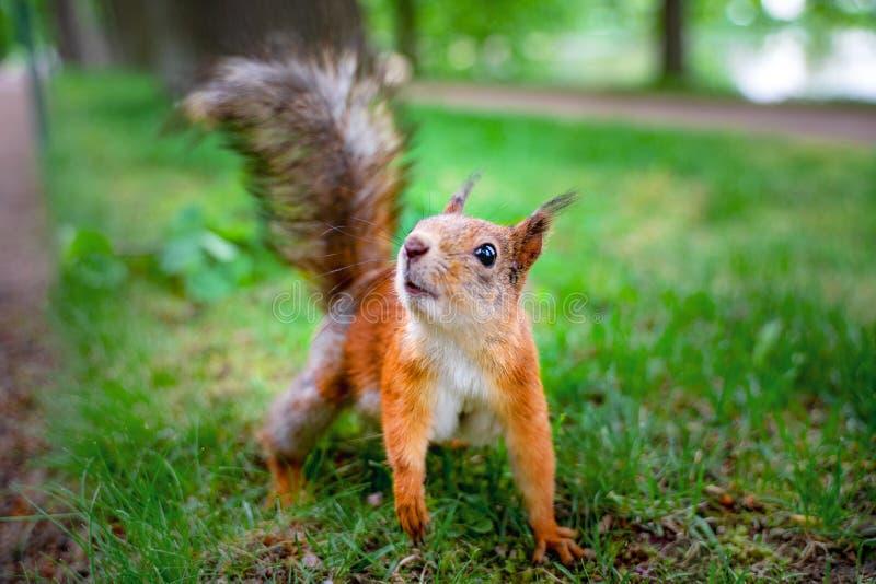 Grappige rode eekhoorn in bos op wilde aard als achtergrond dierlijke vulgaris Sciurus, knaagdier stock fotografie