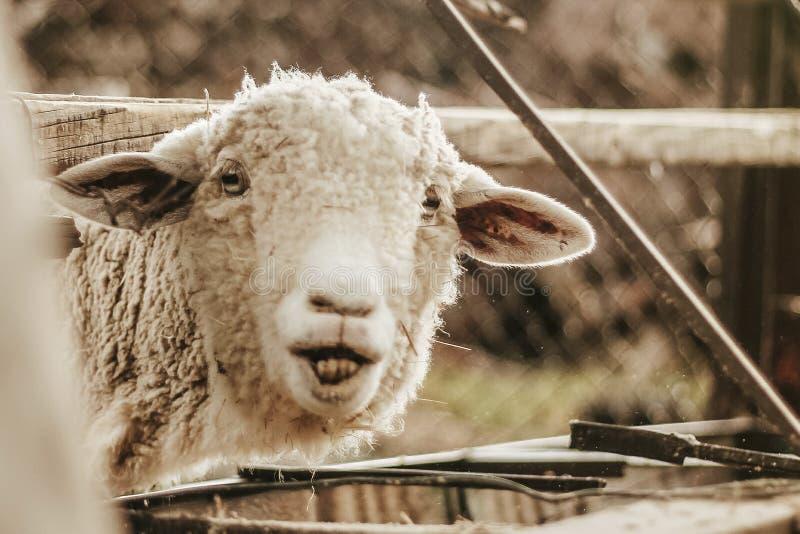 Grappige schapen Portret van schapen Mexicaans landbouwbedrijf Mexico stock afbeeldingen