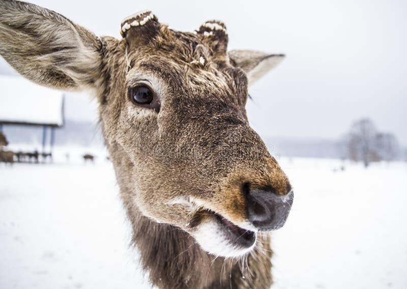 Grappige snuit van een dierlijk hert stock afbeeldingen