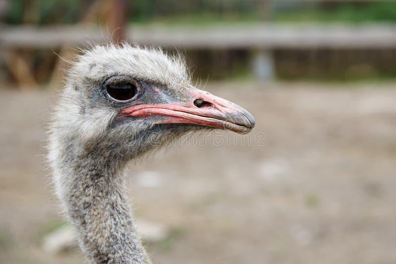 Grappige struisvogel royalty-vrije stock afbeelding