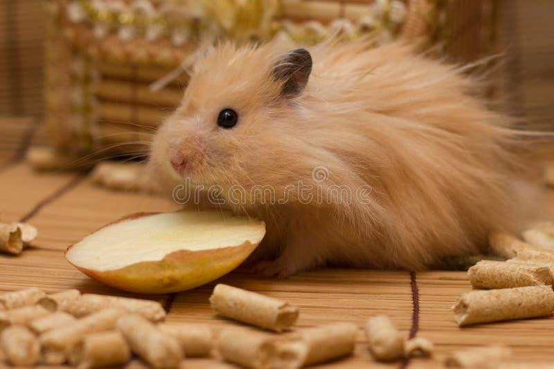Grappige Syrische hamster royalty-vrije stock afbeeldingen