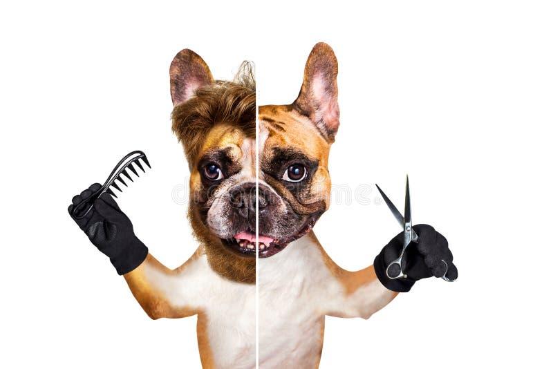 Grappige van de de gember Franse buldog van de hondkapper groomer de greepschaar en haarborstel Mens die op witte achtergrond wor stock afbeeldingen