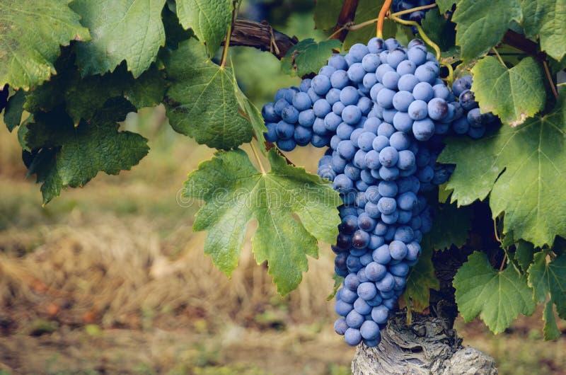 Graps do nebbiolo no vinhedo do barolo Itália fotos de stock royalty free