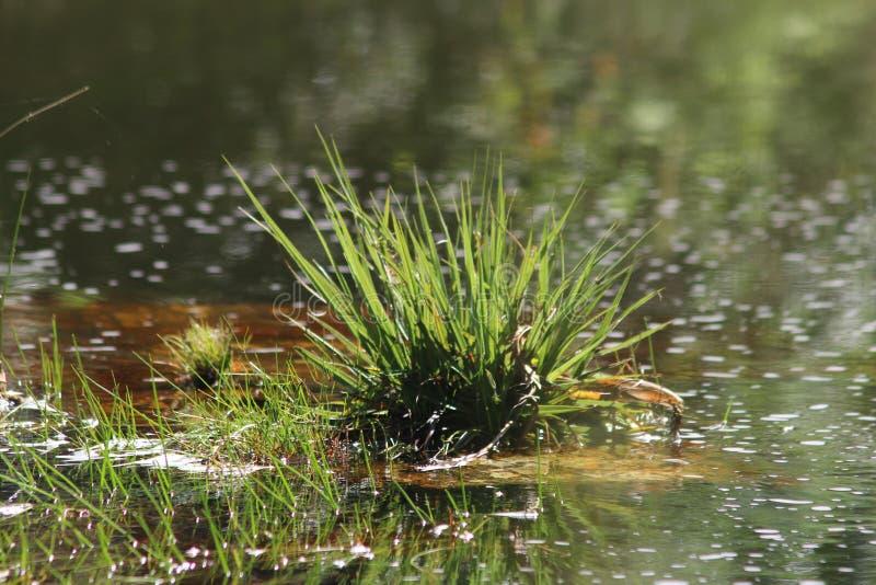 Gras в темной воде, глуши Южной Африке стоковое изображение