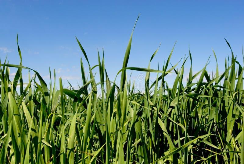 Gras & Blauwe Hemel royalty-vrije stock afbeelding