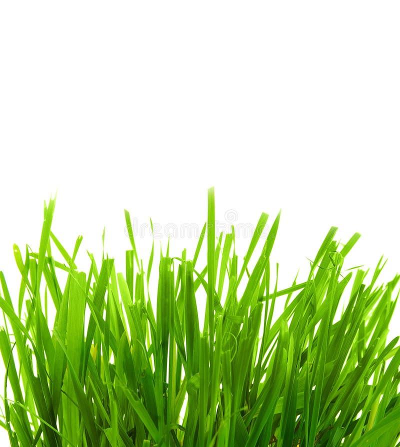 Gras auf Weiß lizenzfreies stockbild