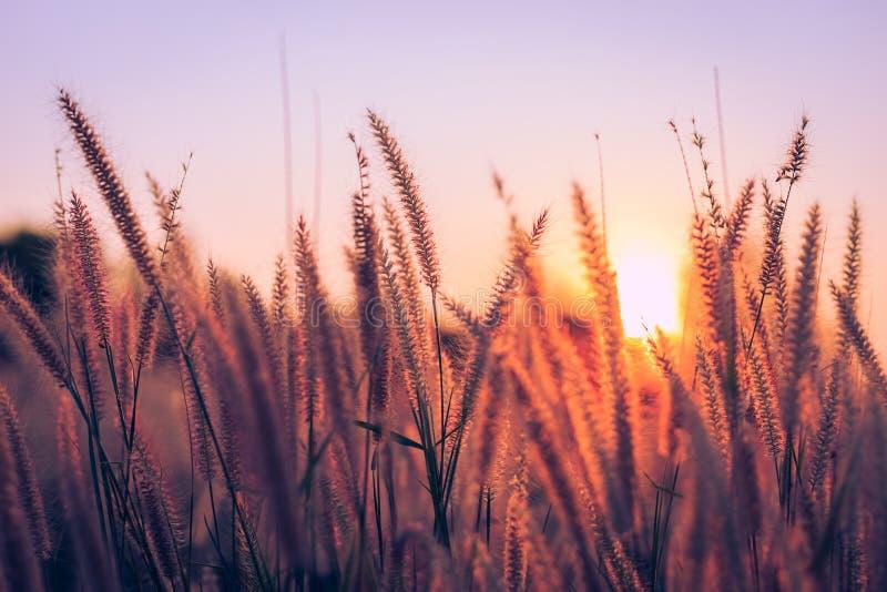 Gras bei Sonnenuntergang im Park lizenzfreie stockbilder