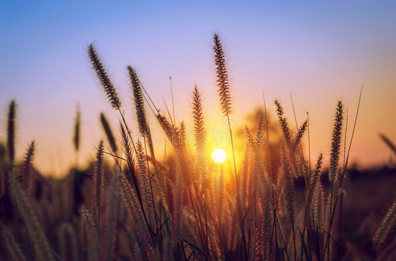 Gras bei Sonnenuntergang im Park lizenzfreie stockfotografie