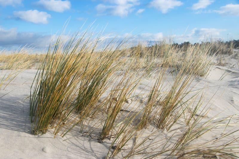 Gras bij zandig duin, Oostzee stock afbeelding