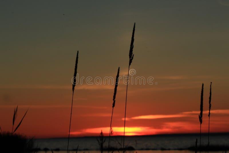 Gras bij zonsondergang royalty-vrije stock foto
