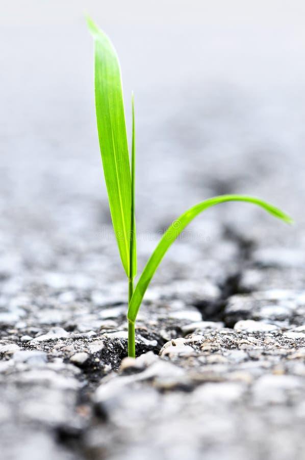 Gras, das vom Sprung im Asphalt wächst stockbild