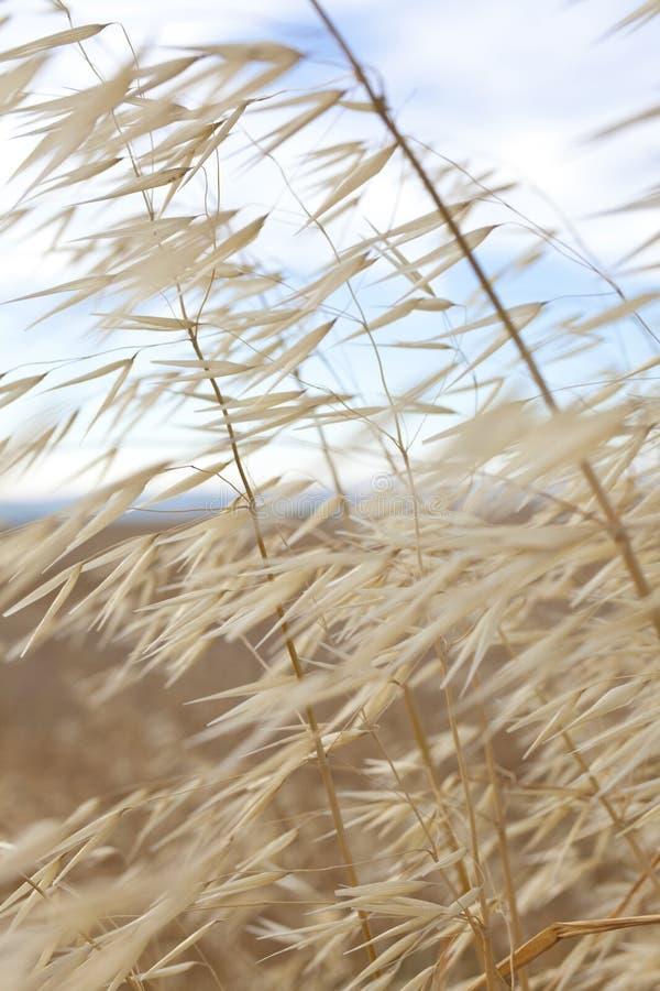 Gras dat in de Wind blaast stock foto