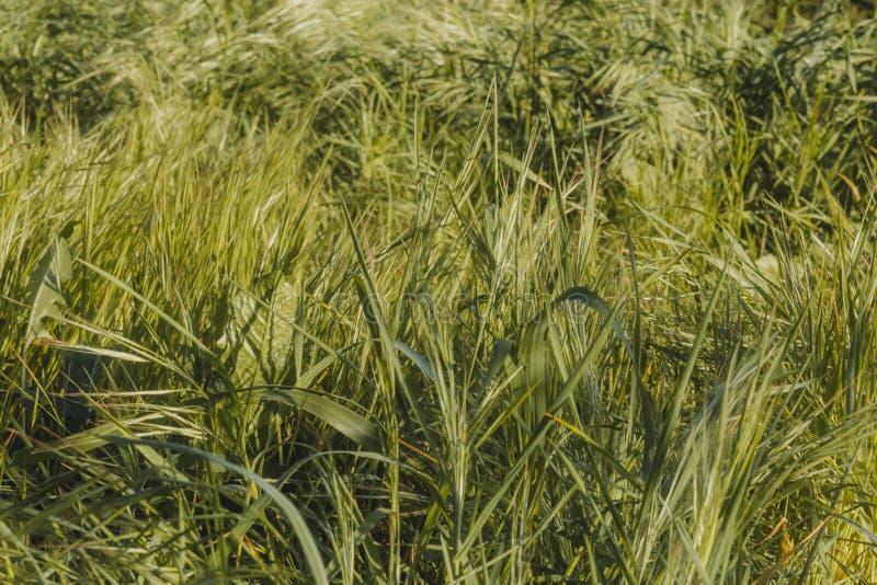 Gras dat in de wind slingert royalty-vrije stock foto's