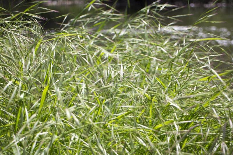 Gras in de lente, kleur van het leven stock fotografie