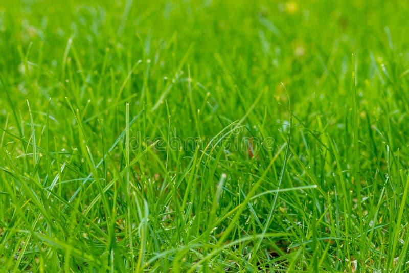 Gras in de tuin, in zonlicht Close-up van een groen gazon stock afbeelding