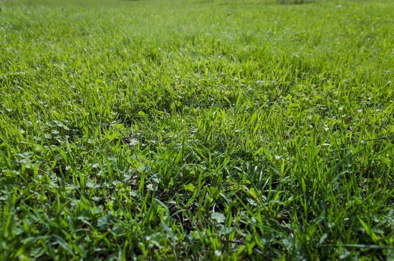 Gras De verse groene close-up van het de lentegras Zon Zachte nadruk De abstracte Achtergrond van de Aard royalty-vrije stock afbeelding