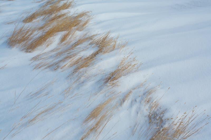 Gras in de wind geblazen sneeuw stock foto's