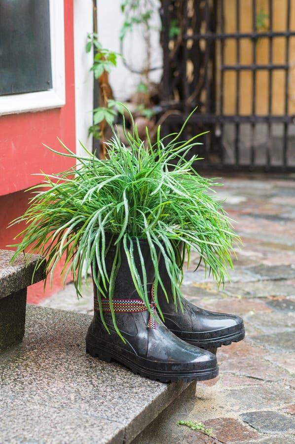 Gras in den Gummistiefeln benutzt als Blumentopf stockfoto