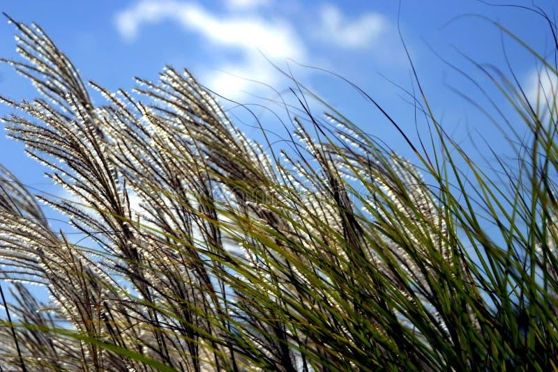 Gras in der Brise stockbild
