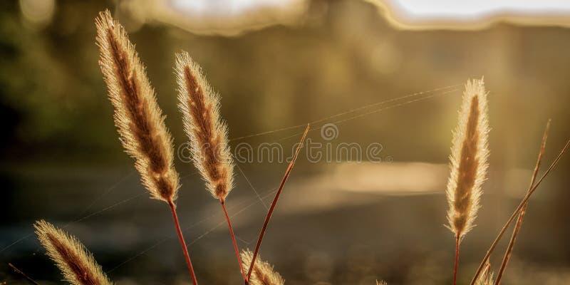 Gras die in de ochtendzon gloeien stock foto's