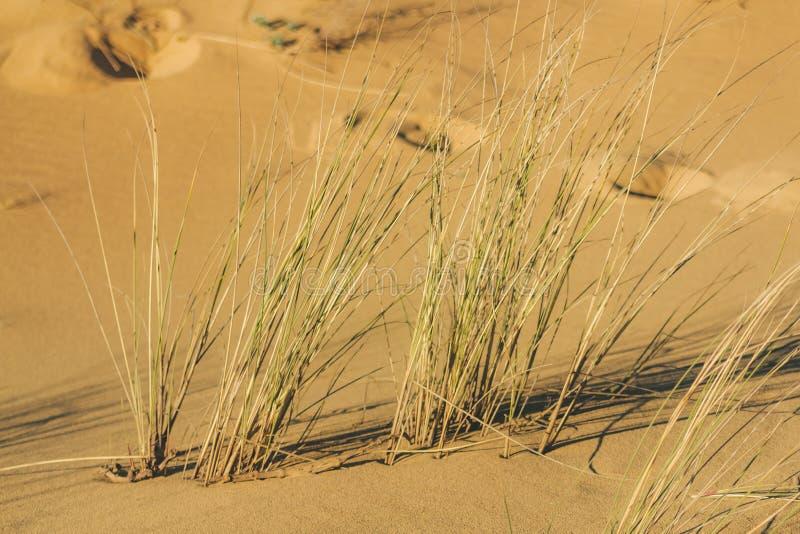 Gras die met de wind in het zand van het duin slingeren stock fotografie