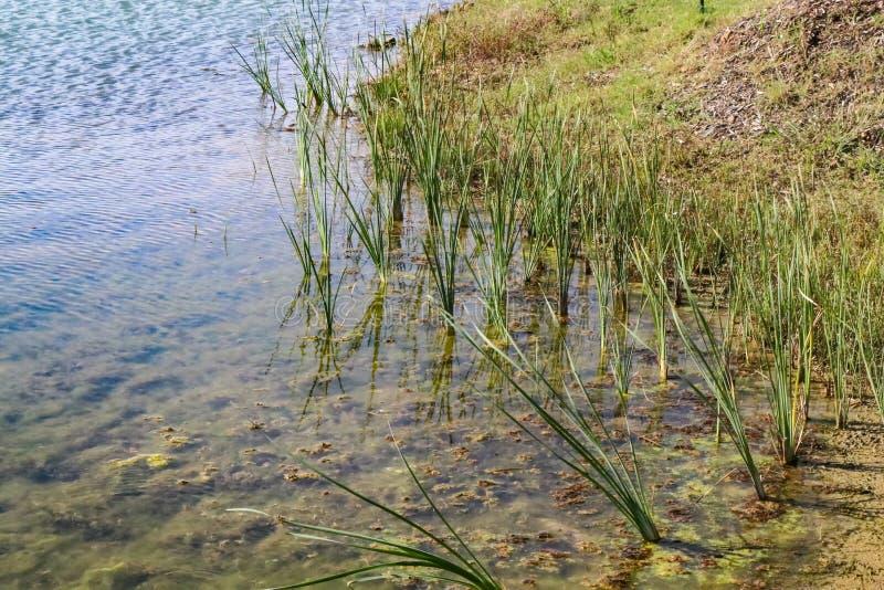 Gras die n-massa's kweken bij de rand van een meer door de kust royalty-vrije stock foto's