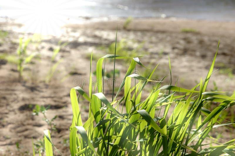 Gras door de rivier, de zon, de stralen van de de zomerdag royalty-vrije stock afbeeldingen