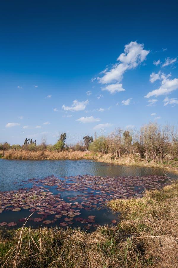 Gras en stormlopen die in moerasland met blauwe hemel groeien en clound royalty-vrije stock afbeeldingen