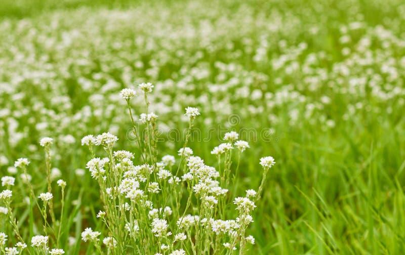 Gras en witte wilde kleine bloemen op de geploegde gebied of weide van Groenland royalty-vrije stock afbeeldingen