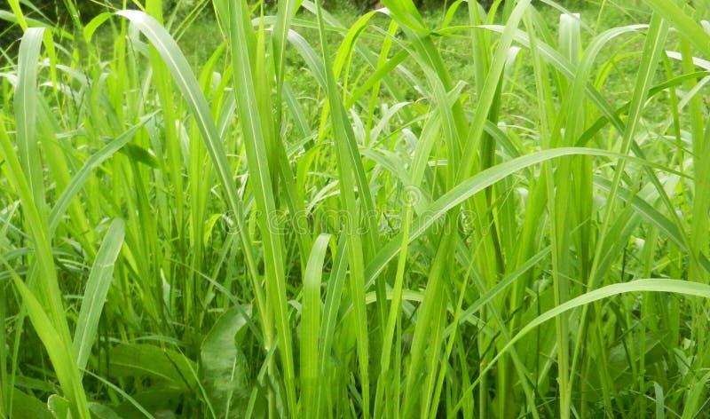 Gras groen lang die close-up door helder zonlicht achtergrondecopatroon wordt verlicht stock afbeeldingen