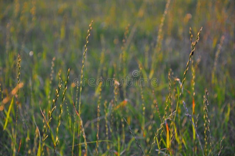 Gras hervorgehoben durch die Glättung der Sonne stockfotografie