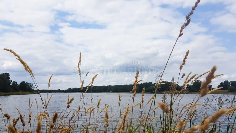 Gras het groeien dichtbij de rivier onder een blauwe bewolkte hemel stock afbeeldingen