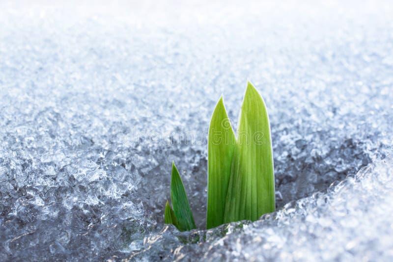 Gras het groeien sneeuw royalty-vrije stock afbeelding