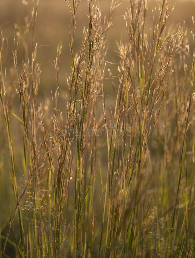Gras hintergrundbeleuchtet durch den s?dafrikanischen Nachmittagssonnenhintergrund stockfoto