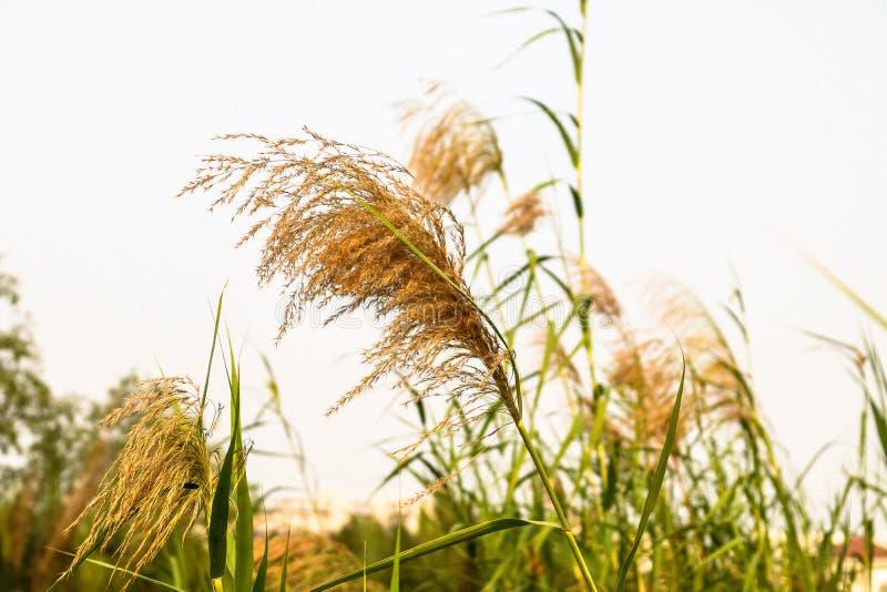 Gras, Ho Chi Minh Stadt, Vietnam stockfotografie