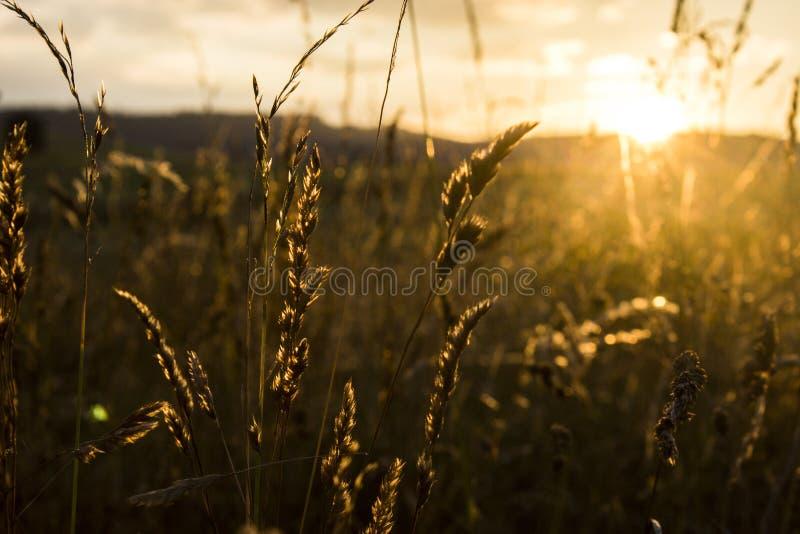 Gras im Sonnenuntergang lizenzfreie stockfotos