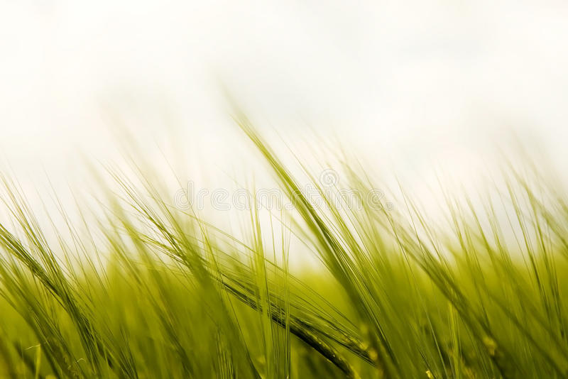 Gras im Wind lizenzfreie stockbilder