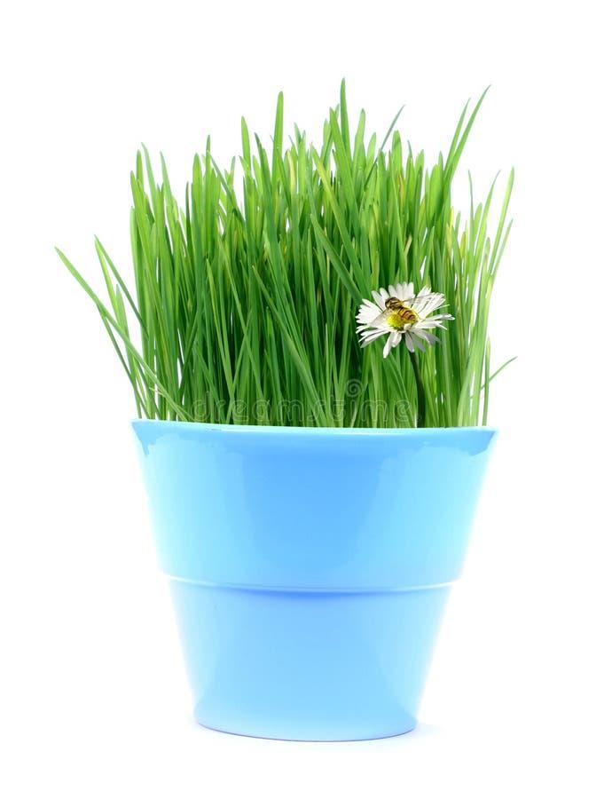 Gras, margherita ed ape verdi fotografie stock libere da diritti