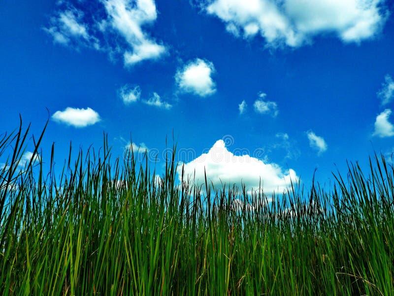 Gras met blauwe hemel stock foto's