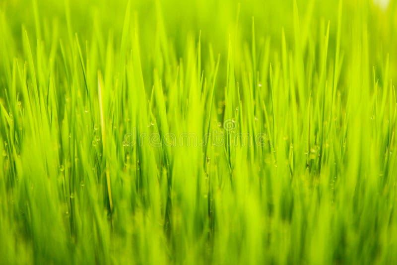 Gras met dauw royalty-vrije stock afbeelding