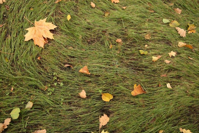 Gras met gevallen gele bladeren royalty-vrije stock afbeeldingen