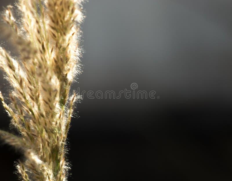 Gras met zaden die in de wind onder de zon blazen royalty-vrije stock foto's