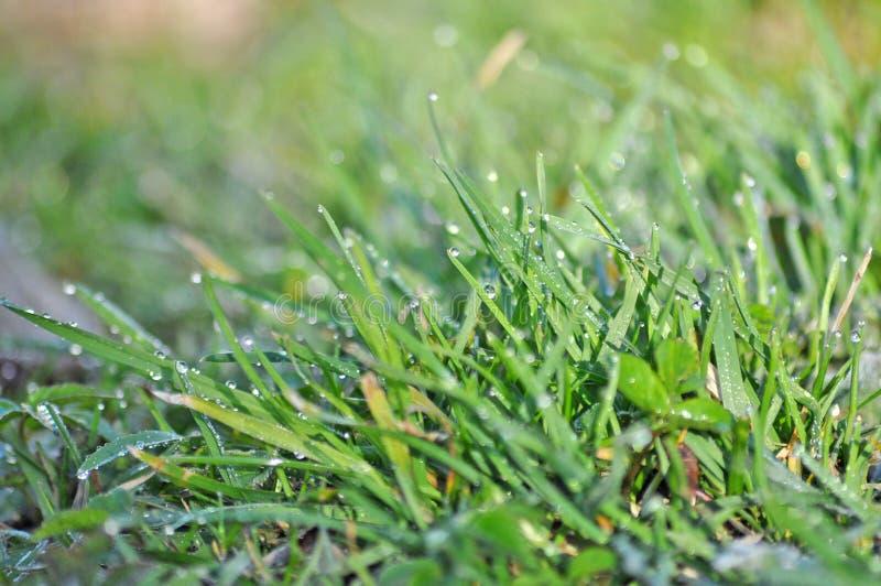 Gras mit Tau lizenzfreie stockfotos
