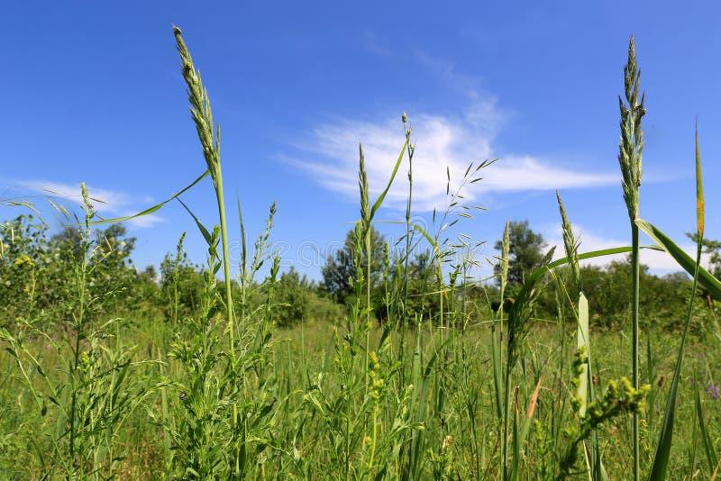 Gras op de zomerweide in steppe stock foto